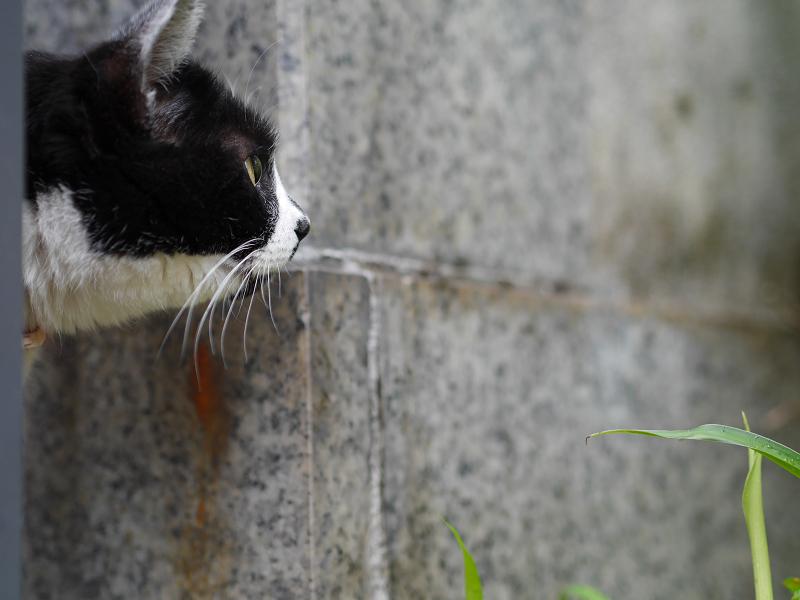 真剣に真正面を見ている白黒猫