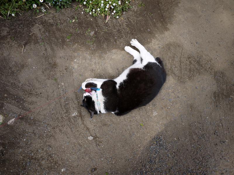境内でオモチャ遊びの黒白猫1