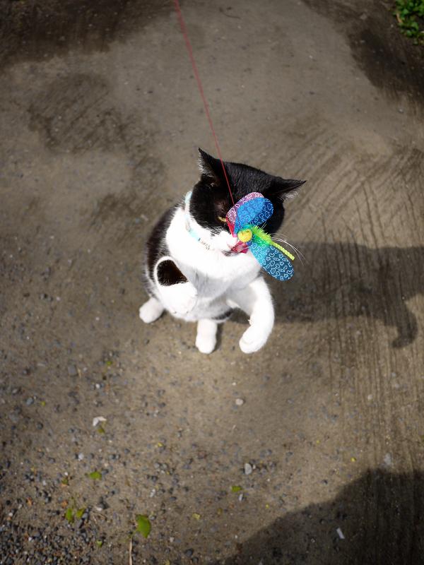 境内でオモチャ遊びの黒白猫3