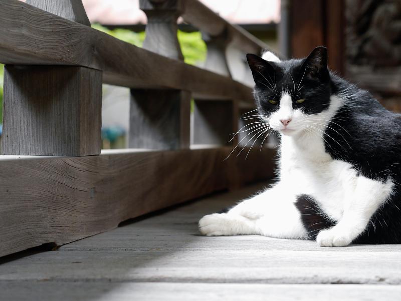 神社の濡縁の黒白猫1