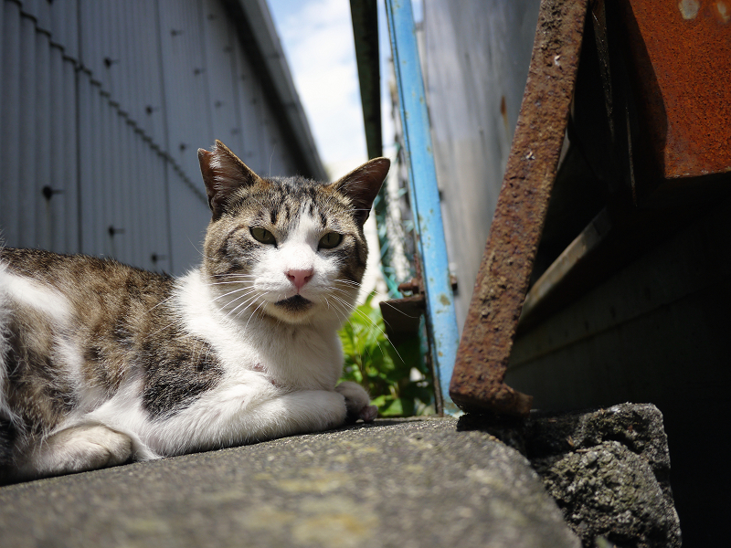 狭いスペースのキジ白猫01