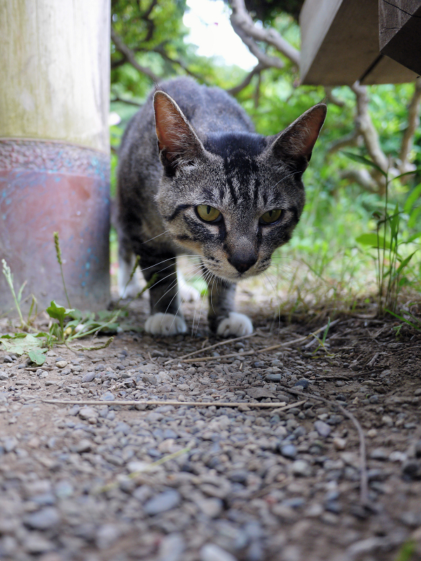 気になって寄って来たキジトラ猫1