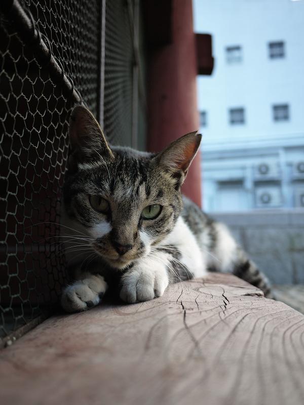 寺門で休憩してるキジ白猫1