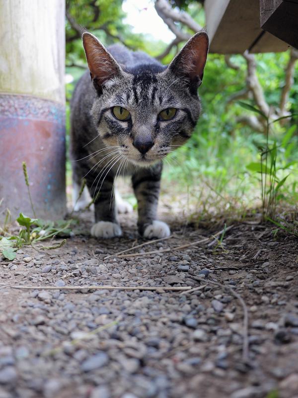 気になって寄って来たキジトラ猫2