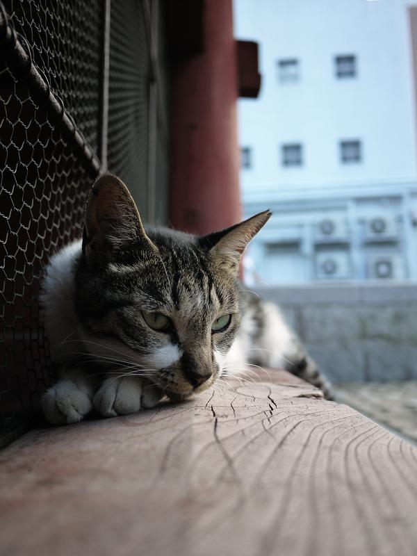 寺門で休憩してるキジ白猫2