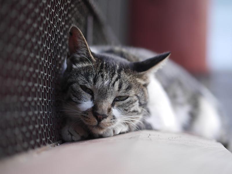 寺門で休憩してるキジ白猫3