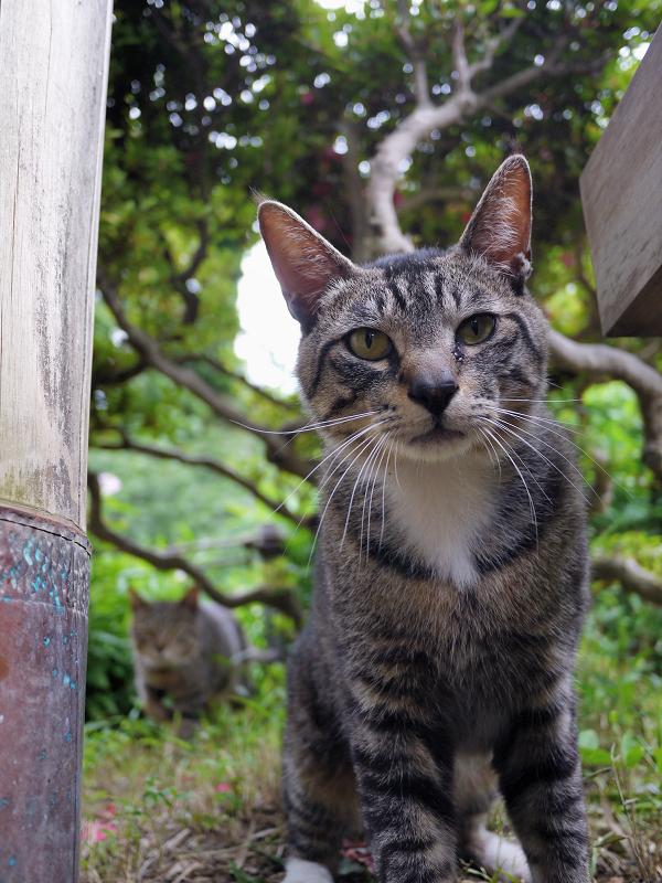 気になって寄って来たキジトラ猫3