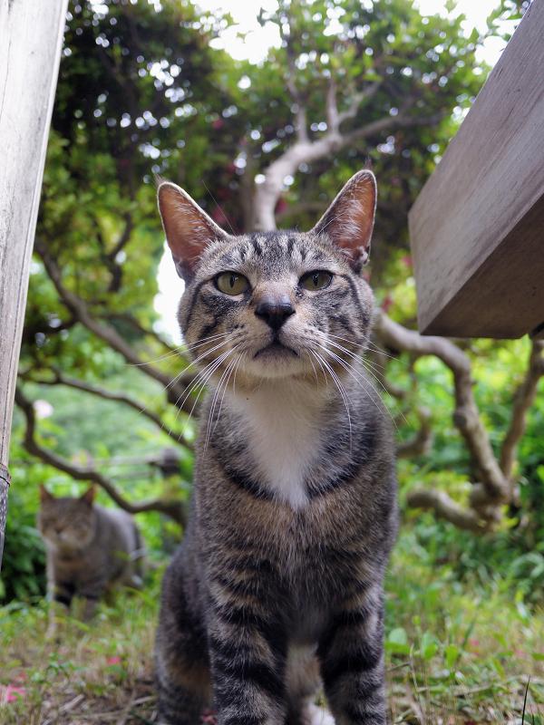 気になって寄って来たキジトラ猫4