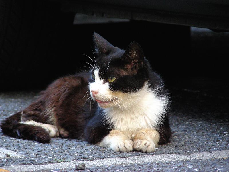 駐車場の毛長の黒白猫1