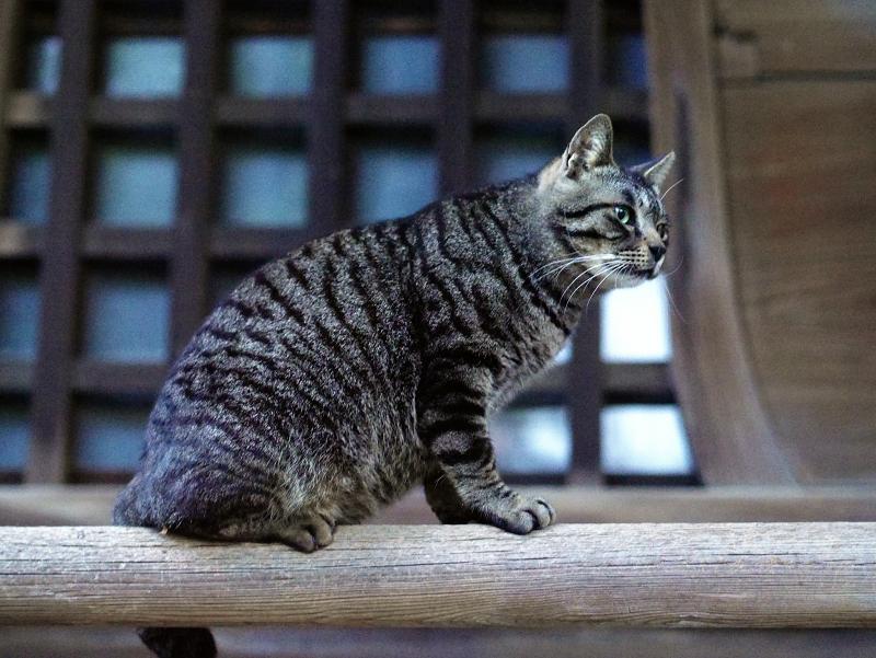 古堂の欄干とキジトラ猫01