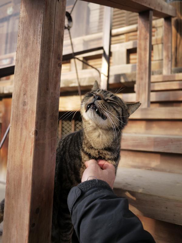 胸をコスコスされてるキジトラ猫1