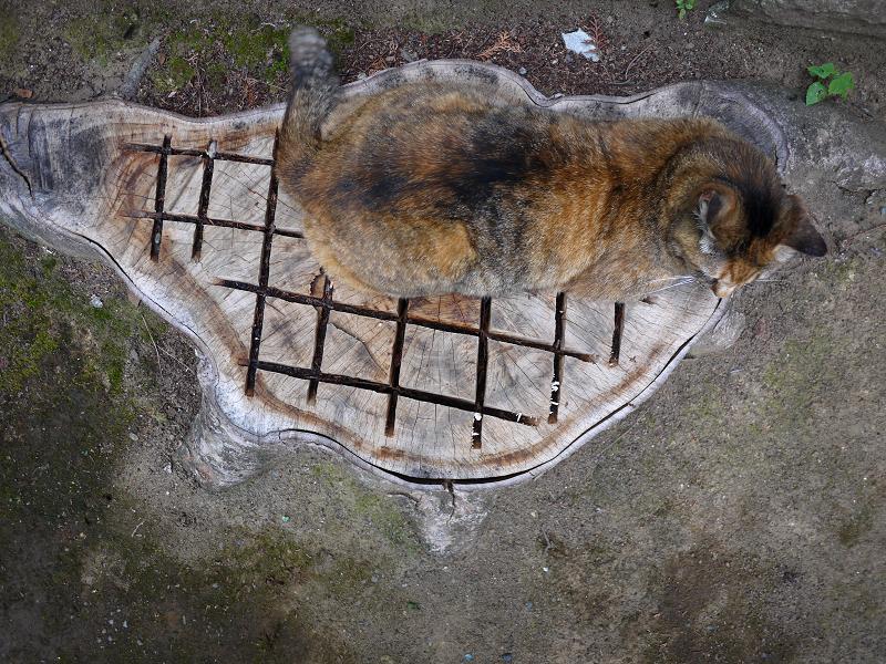 切り株とサビ柄猫1