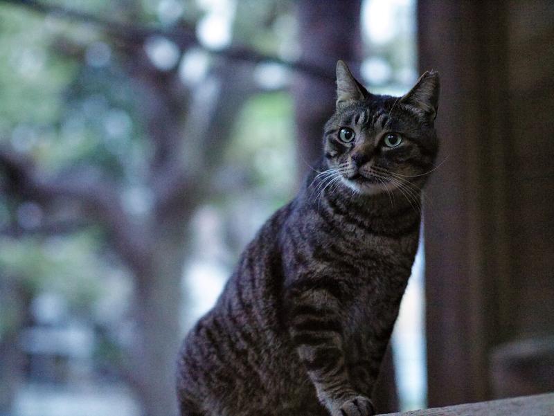 古堂の欄干とキジトラ猫02