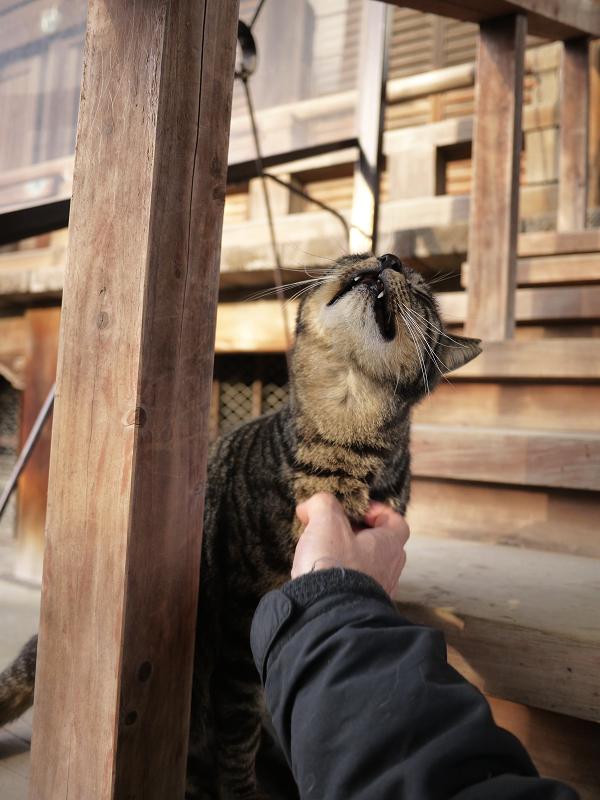 胸をコスコスされてるキジトラ猫2
