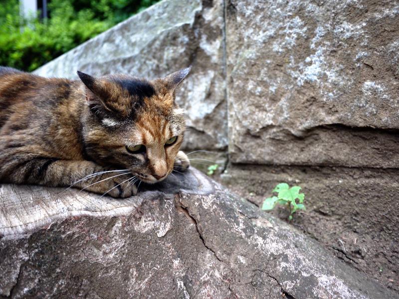 切り株とサビ柄猫2