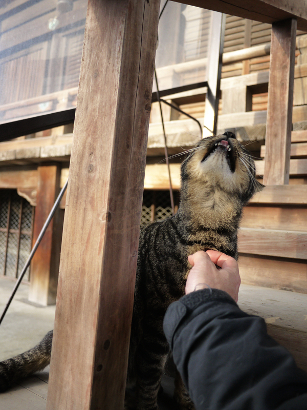 胸をコスコスされてるキジトラ猫3