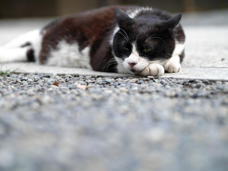 お寺の境内で涼んでる黒白猫1