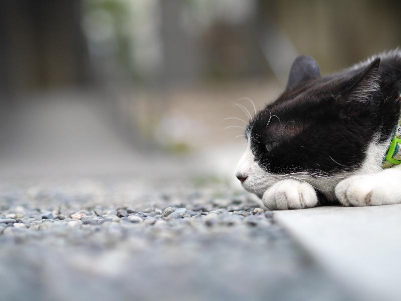 お寺の境内で涼んでる黒白猫2