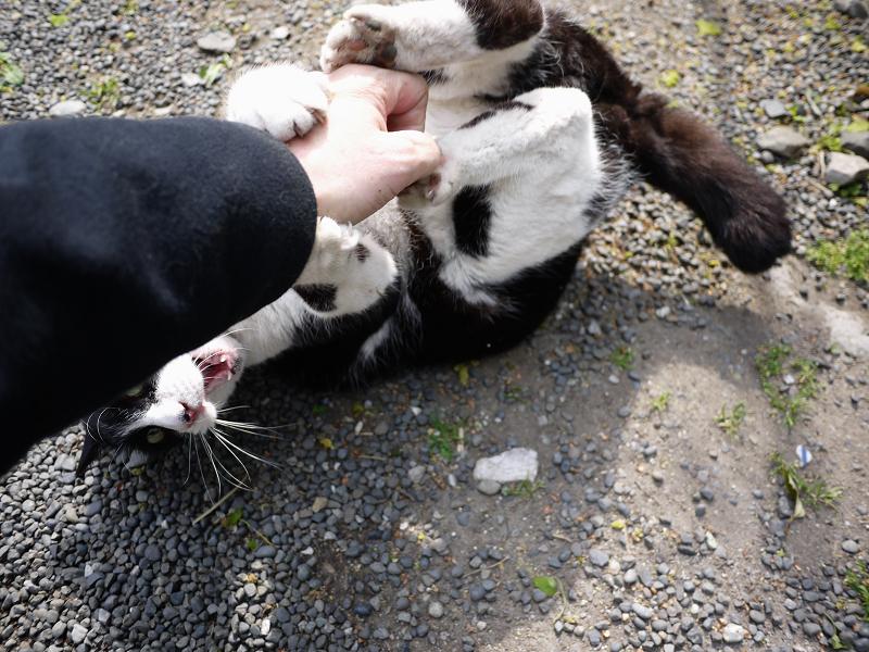 手をオモチャの代わりにする猫3