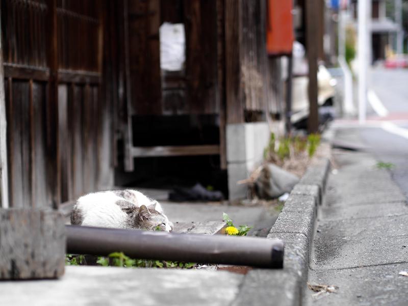 古い家の玄関で寝てる猫1