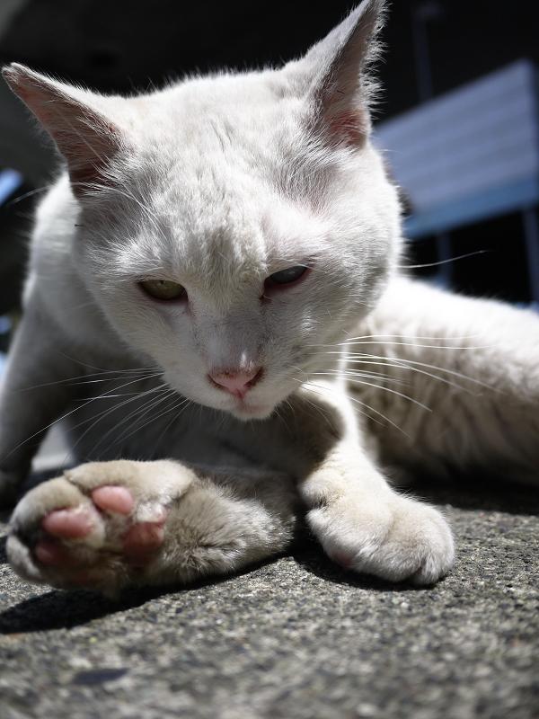 でかい白猫のローアングル01