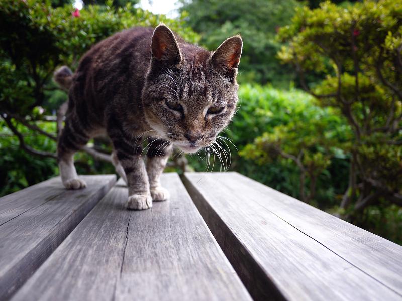 木製ベンチに乗ってきたキジ白猫1