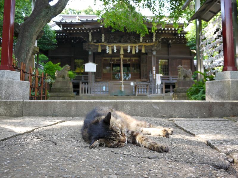 神社の神域で熟睡してる毛長のキジ系猫1