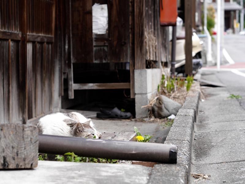 古い家の玄関で寝てる猫2