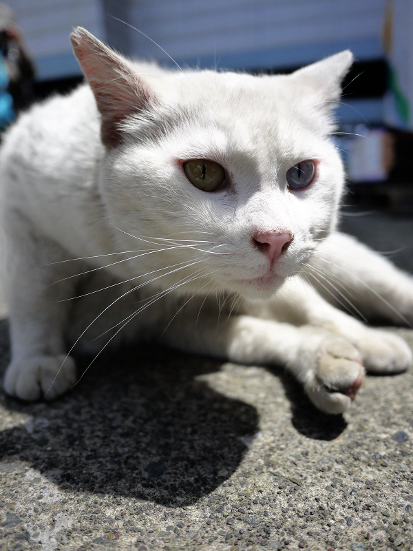 でかい白猫のローアングル02