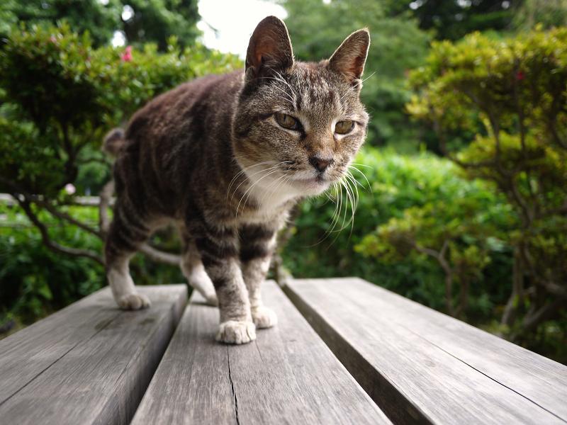木製ベンチに乗ってきたキジ白猫2