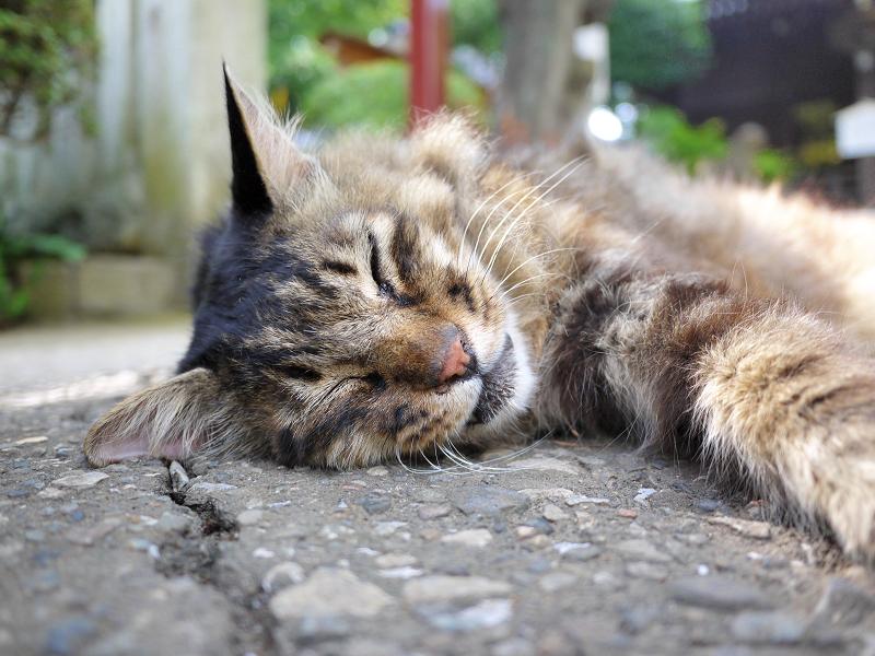 神社の神域で熟睡してる毛長のキジ系猫2