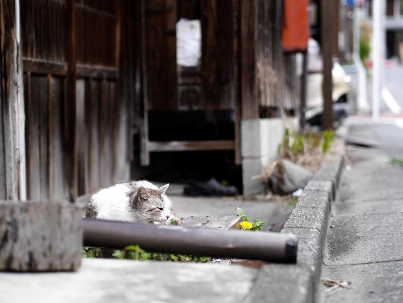 古い家の玄関で寝てる猫3