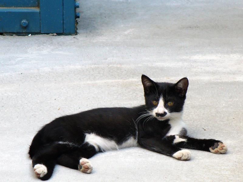 大人顔の黒白柄の仔猫1