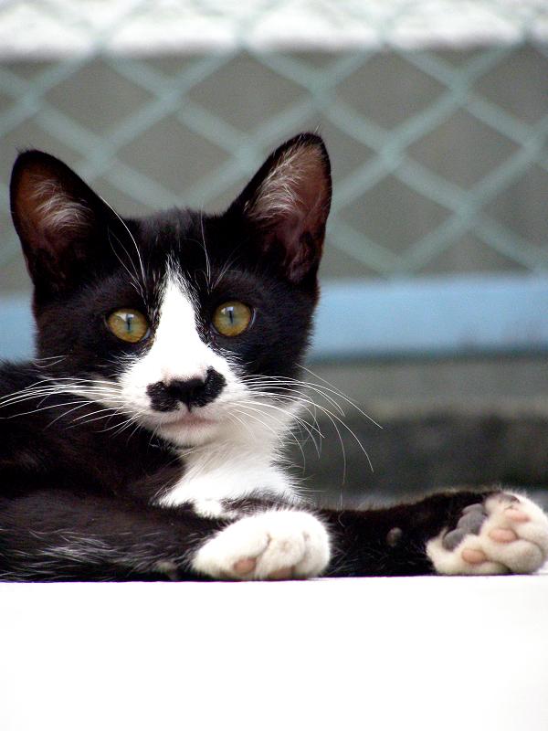 大人顔の黒白柄の仔猫2