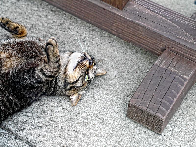 柵の横で転がった茶トラ猫
