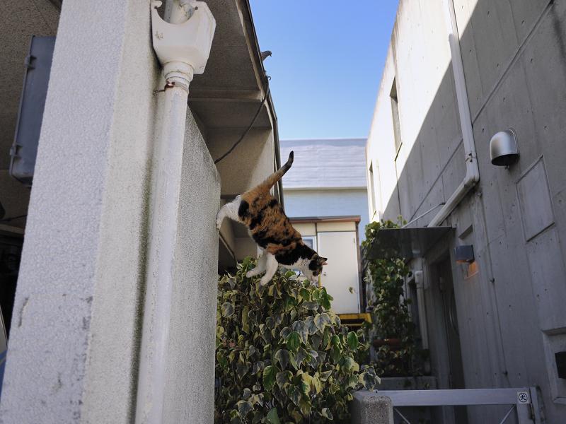 壁から飛び出す三毛猫