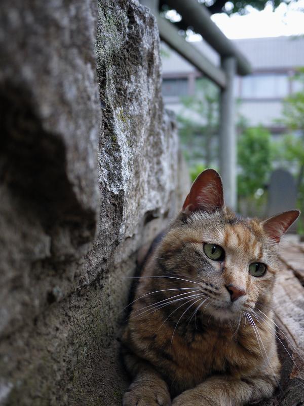 岩と鳥居とサビ柄猫1