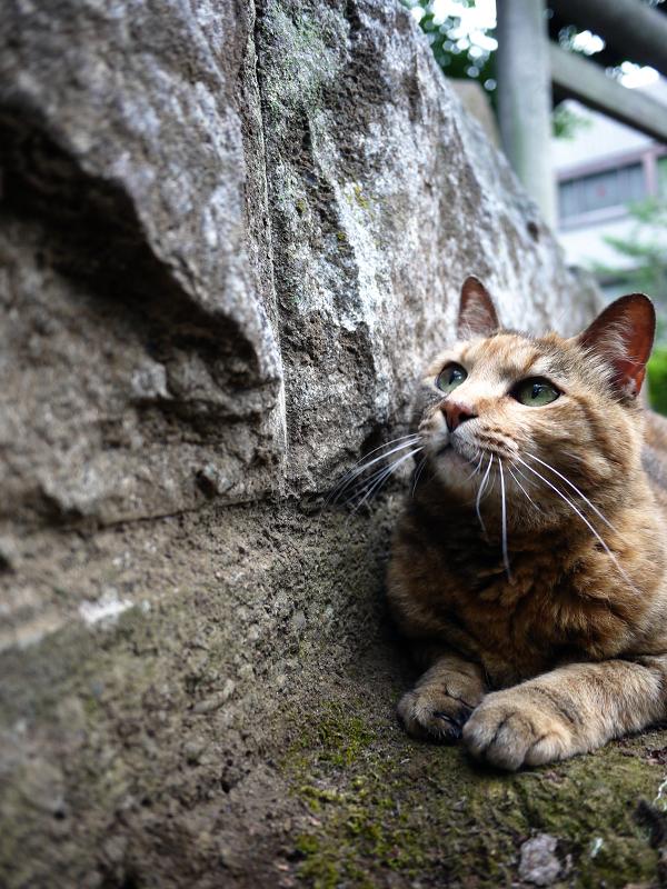 岩と鳥居とサビ柄猫2