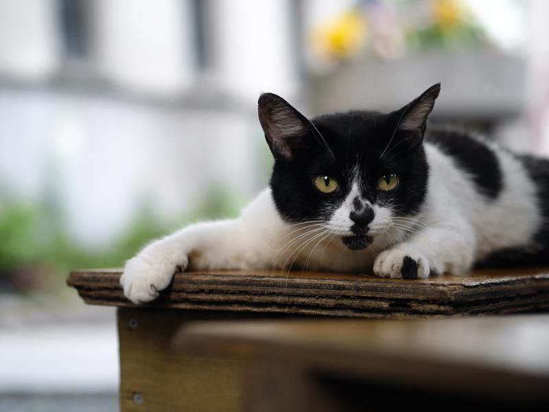 境内のベンチで踏ん張ってる風の白黒猫1