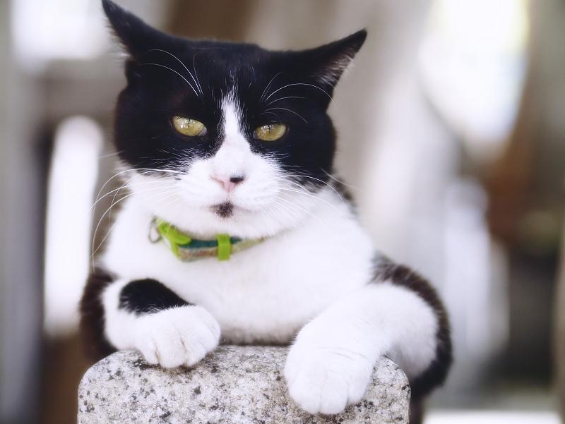 玉垣の上の黒白猫のポートレート