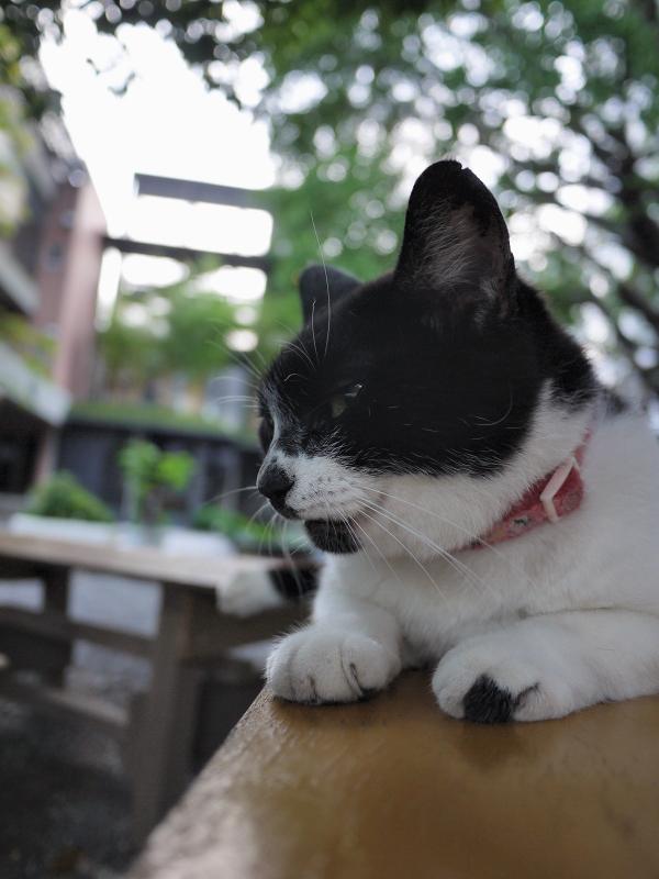 境内のベンチで踏ん張ってる風の白黒猫2