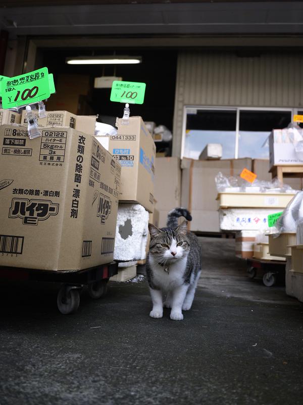 店舗の前のキジ白猫