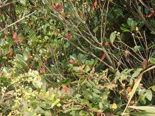 シャリンバイの紅葉と実