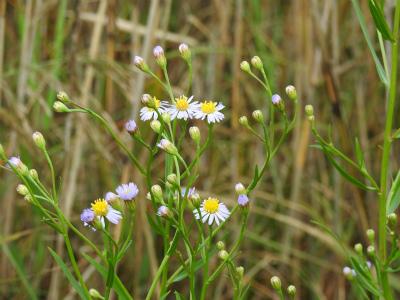 ウラギク(ハマシオン)の花