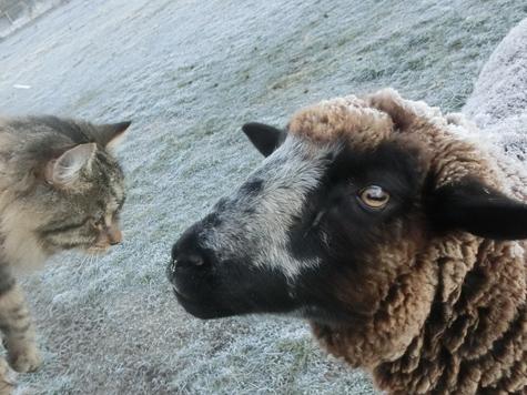 羊の国のビッグフット「子猫がころりん」2