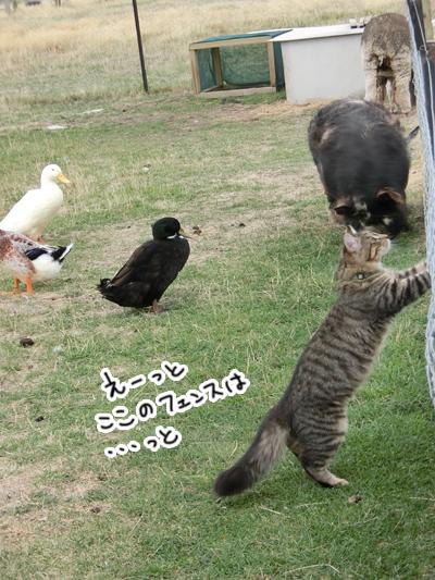 羊の国のビッグフット「ファーム猫検定」2