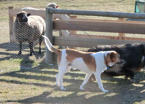 羊の国のビッグフット「丸投げされたニョだ」2