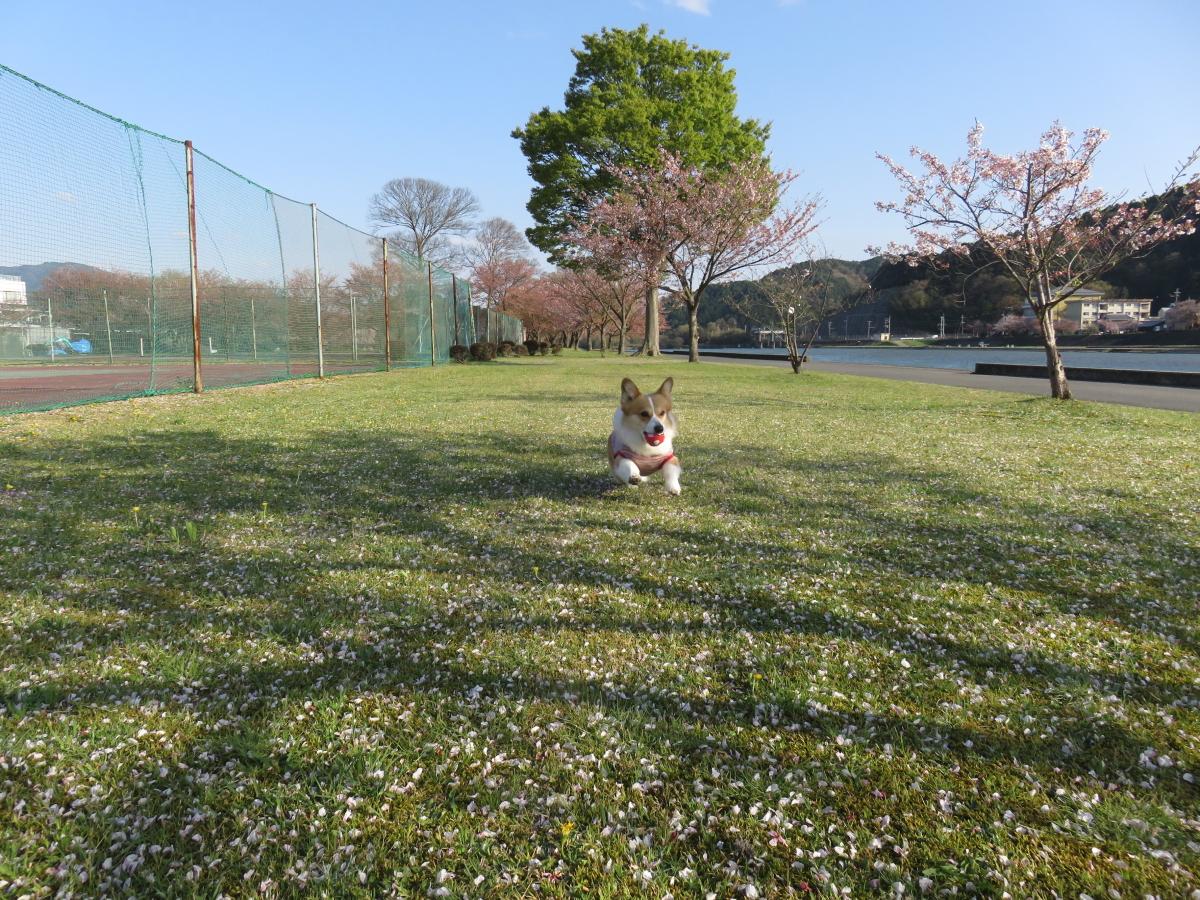葉桜公園1