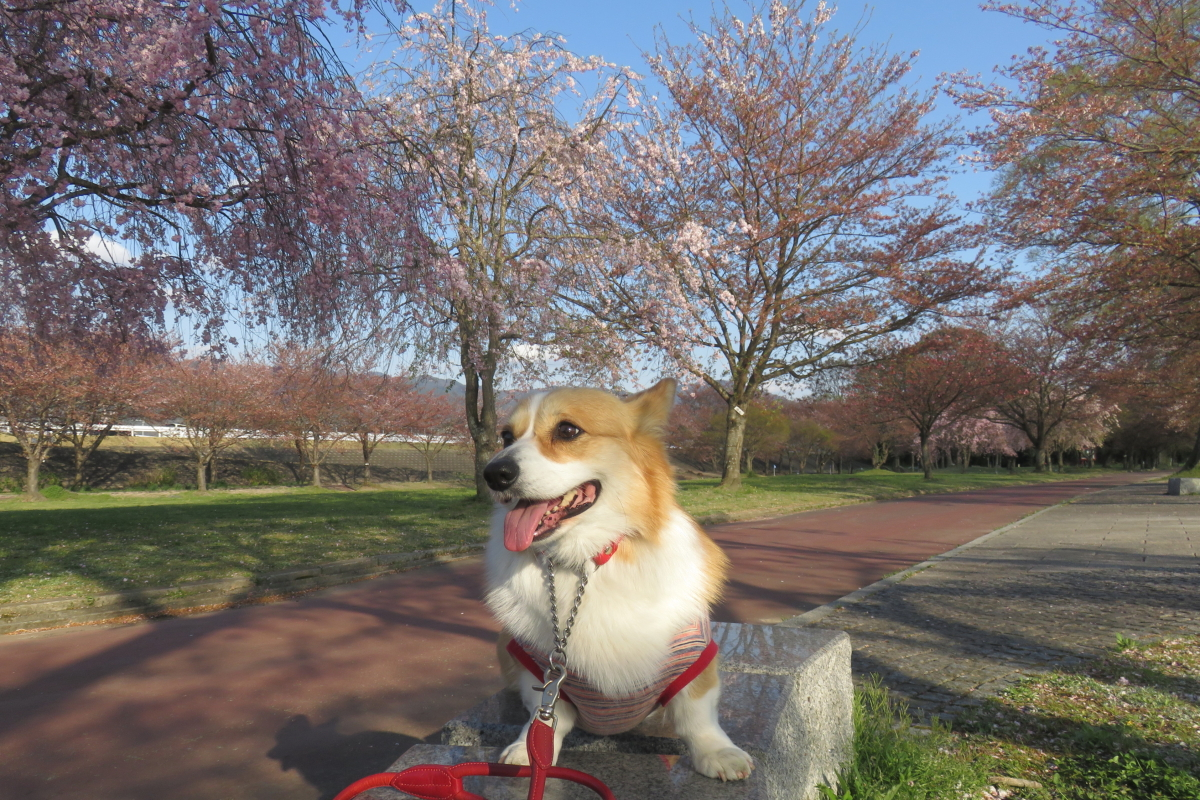 葉桜公園4