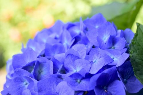 紫陽花マリンブルー